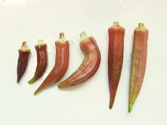 R0053212_赤オクラ収穫_20120930