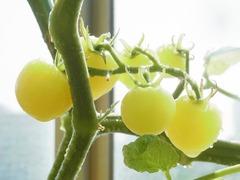 R0043690_ミニトマトアイスレモンの実_20110709