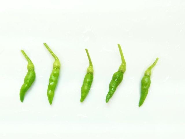 R0052209_木立ち唐辛子の青唐辛子収穫_20120818