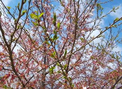 葉桜_2021_4_5