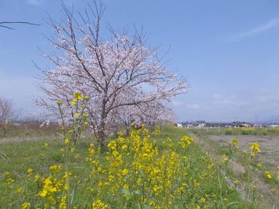 医院裏の桜3_2021_3_29