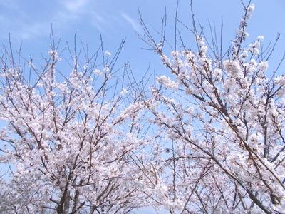 医院裏の桜_2021_3_29