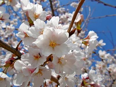 医院裏の桜2_2021_3_27