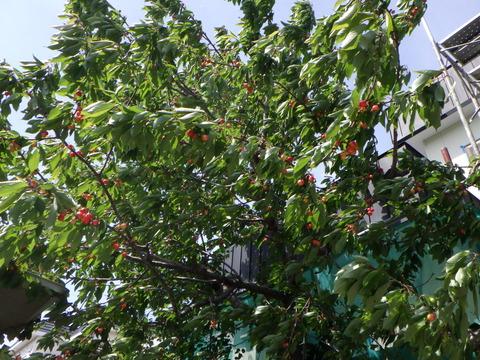 お客様の庭にはサクランボの木が