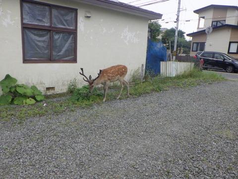 厚岸町の市街地に堂々と鹿が歩いている