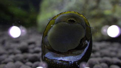 石巻貝、この口で藻を食べてくれます^^