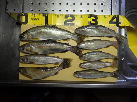 川魚は釣り上げ後短時間で変色するようで体色が悪くなった