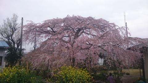 横浜の立派なしだれ桜です
