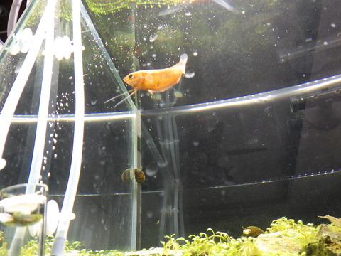 優雅に泳ぐのは赤グラミー