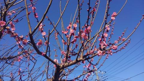 関東の開花は早いですね