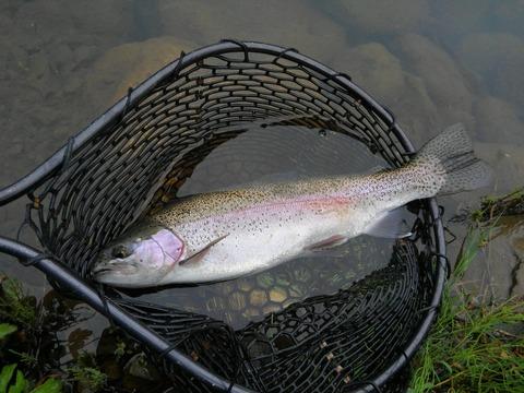 この魚は50cmくらいあった!