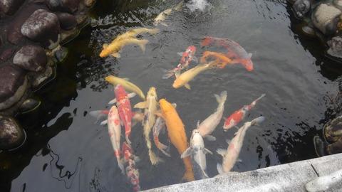 鯉ものんびりしていました^^