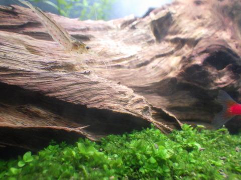 流木の苔も綺麗に掃除してくれます