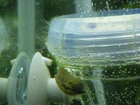 細かい藻がびっしり生えている!