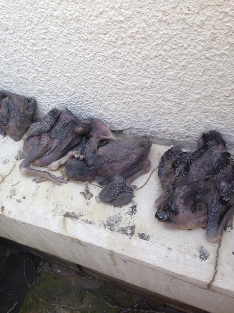 カラスの巣の撤去 : はと捕獲専門 グリーンサポート