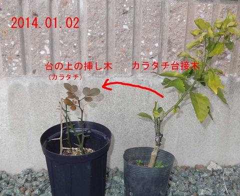 カラタチ挿し木