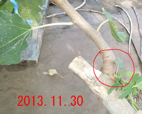 接ぎ木tgkhsm01