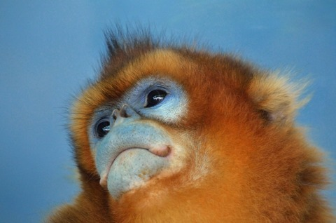 face_of_a_golden_snub-nosed_monkey