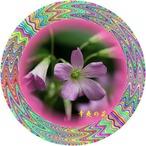 23辛夷の花