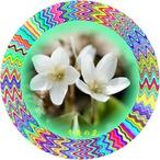 22辛夷の花
