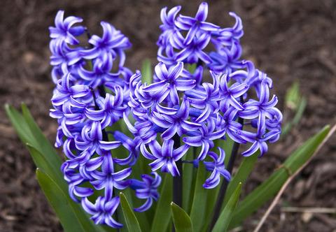 Hyacinth_01
