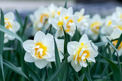 daffodils-flowers-white-spring-plants