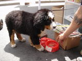 bernese pyppy 2
