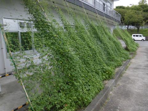 続・緑のカーテン1