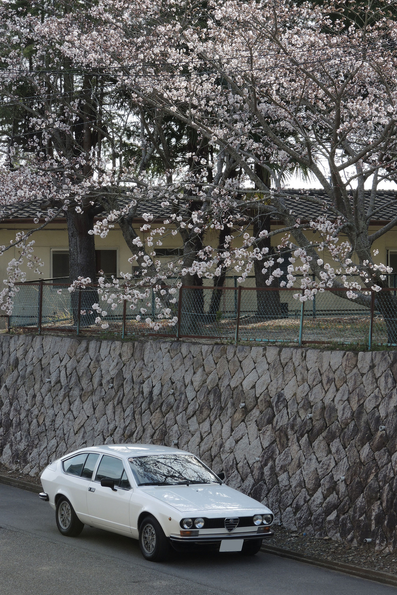 170410桜6分咲き1