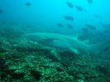 guam12.15nurse shark