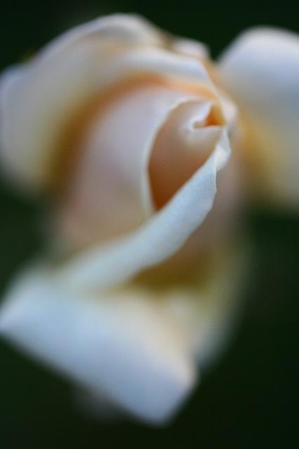 幻想的な淡いピンクのバラ