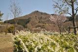 宮ヶ瀬湖桜の季節 #2