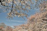 御苑の春 #9