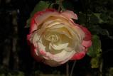 庭園の秋バラ