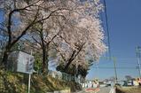 津久井の桜 #1