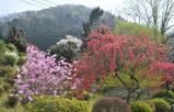 津久井湖周辺の桜 #8