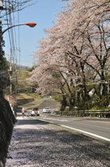 津久井の桜 #5