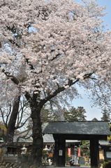 津久井湖周辺の桜 #7