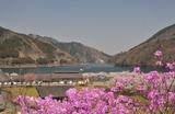 宮ヶ瀬湖桜の季節 #7