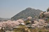 津久井の桜 #9