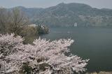 津久井湖周辺の桜 #9