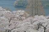 津久井湖周辺の桜 #3
