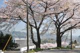 津久井の桜 #6