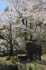 津久井の桜 #8