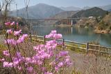 宮ヶ瀬湖桜の季節 #1
