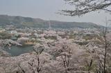 津久井湖周辺の桜 #1