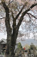 津久井湖周辺の桜 #6