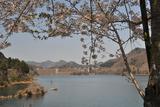 宮ヶ瀬湖桜の季節 #5