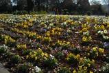 パンジー花壇