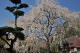 津久井の桜 #2
